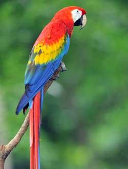 Costa Rica Parrot
